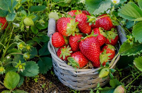 aardbeien kweken
