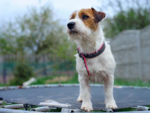 hond op trampoline