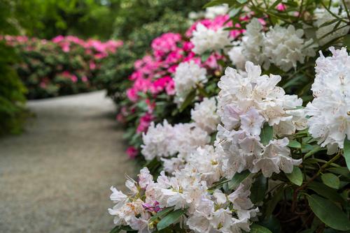 Rhododendron snoeien
