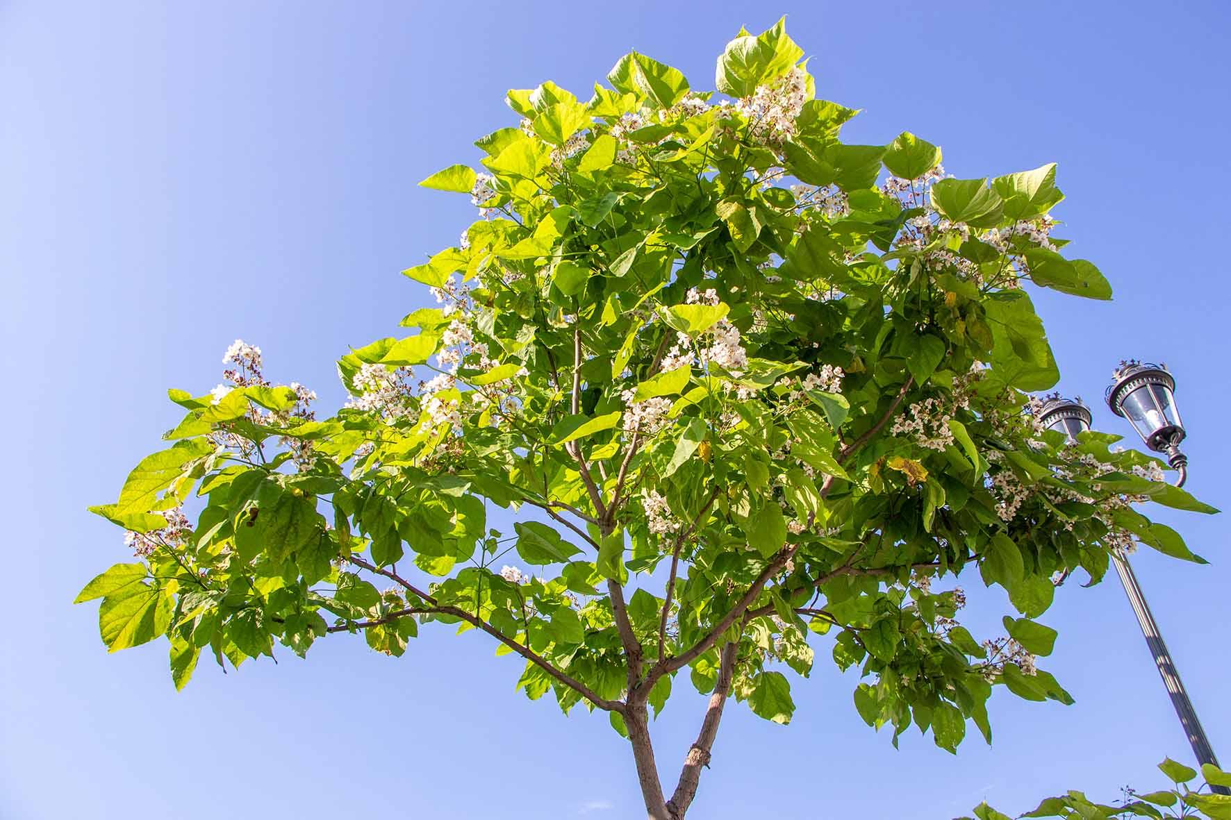 trompetboom snoeien