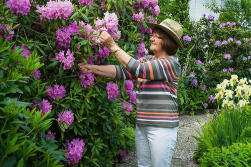 De Rhododendron snoeien: waarom, wanneer en hoe?