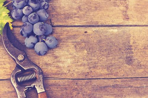 Zelf druiven snoeien: hoe, waarom en wanneer?