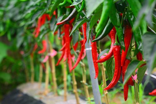 pepers kweken