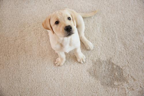 hond met vlek op vloerbedekking