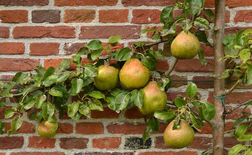 Een perenboom snoeien: hoe en wanneer doe je dat?